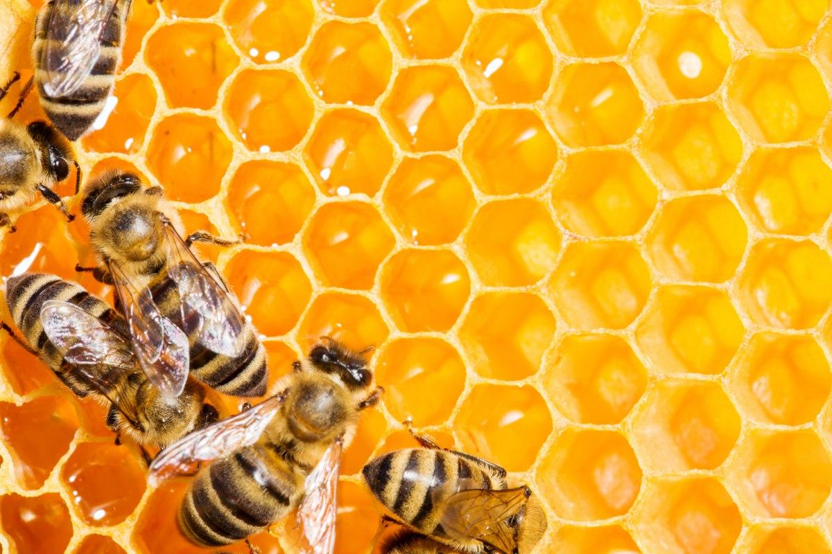 Varias abejas rellenan el panal de miel antes de sellarlo con cera. Foto: Shutterstock