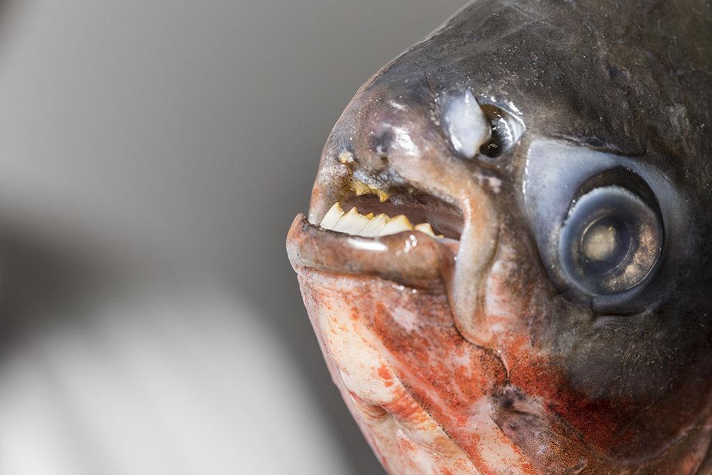 La piraña habitual con la que trabaja Diego es hervíbora, por eso sus dientes son más pequeños