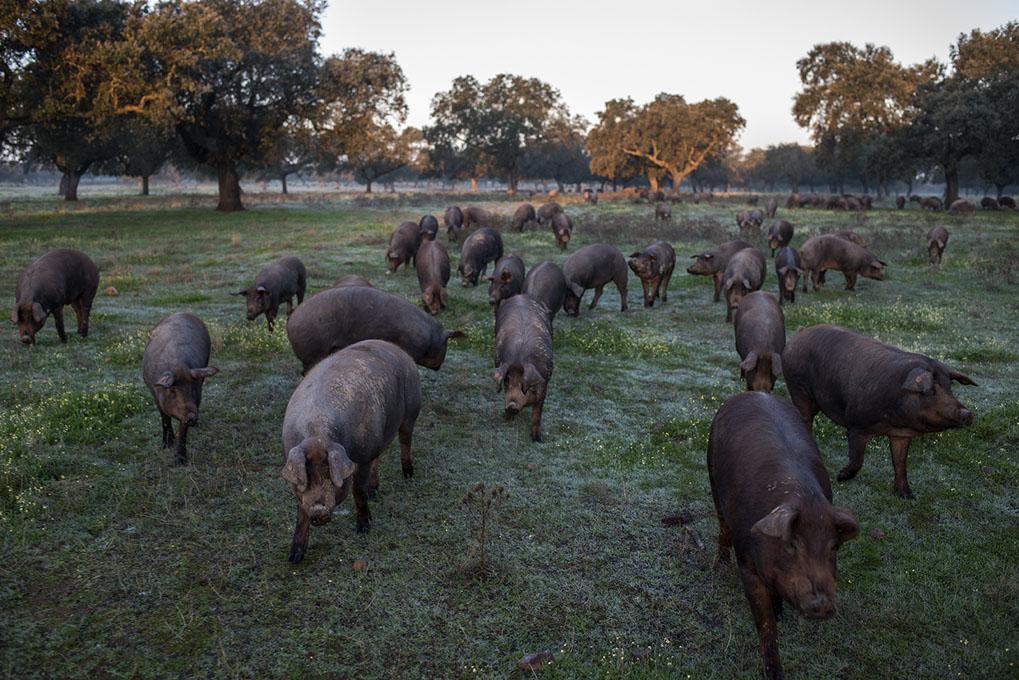 Los cerdos ibéricos campan a sus anchas en la dehesa.