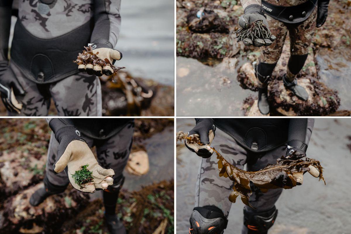 Varios tipos de algas que recolectan en Mar de Ardora, en Galicia.