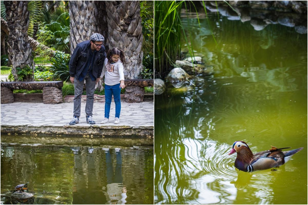 Viendo los patos y las tortugas en el estanque del Huerto del Cura, en Elche (Alicante).