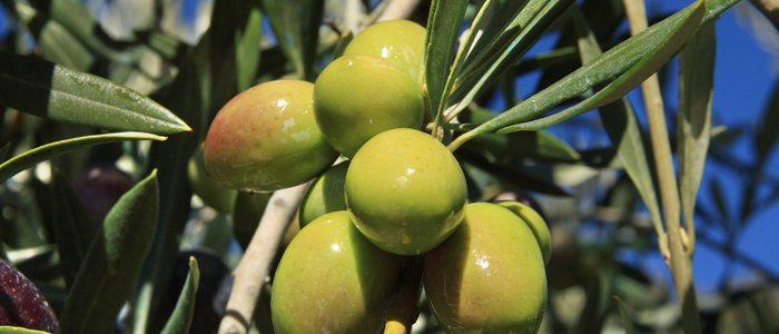 El aceite de oliva virgen extra no puede tener una acided superior a 0'8º.
