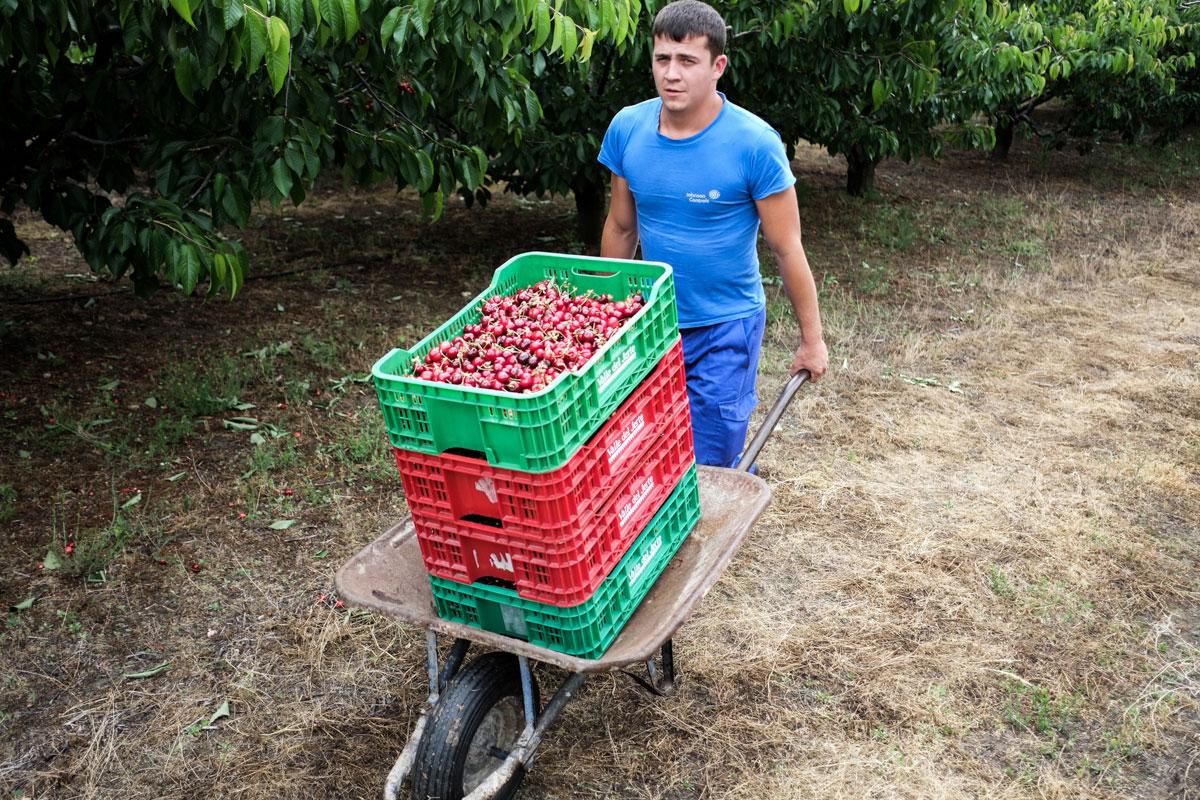 Durante dos meses y medio, cargar y transportar cerezas será una labor prácticamente diaria.