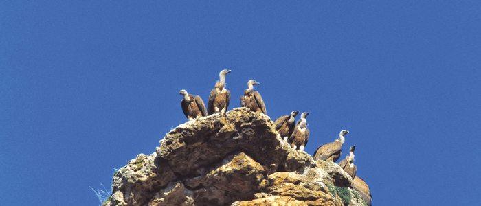 Buitres leonados aposentados sobre una roca.