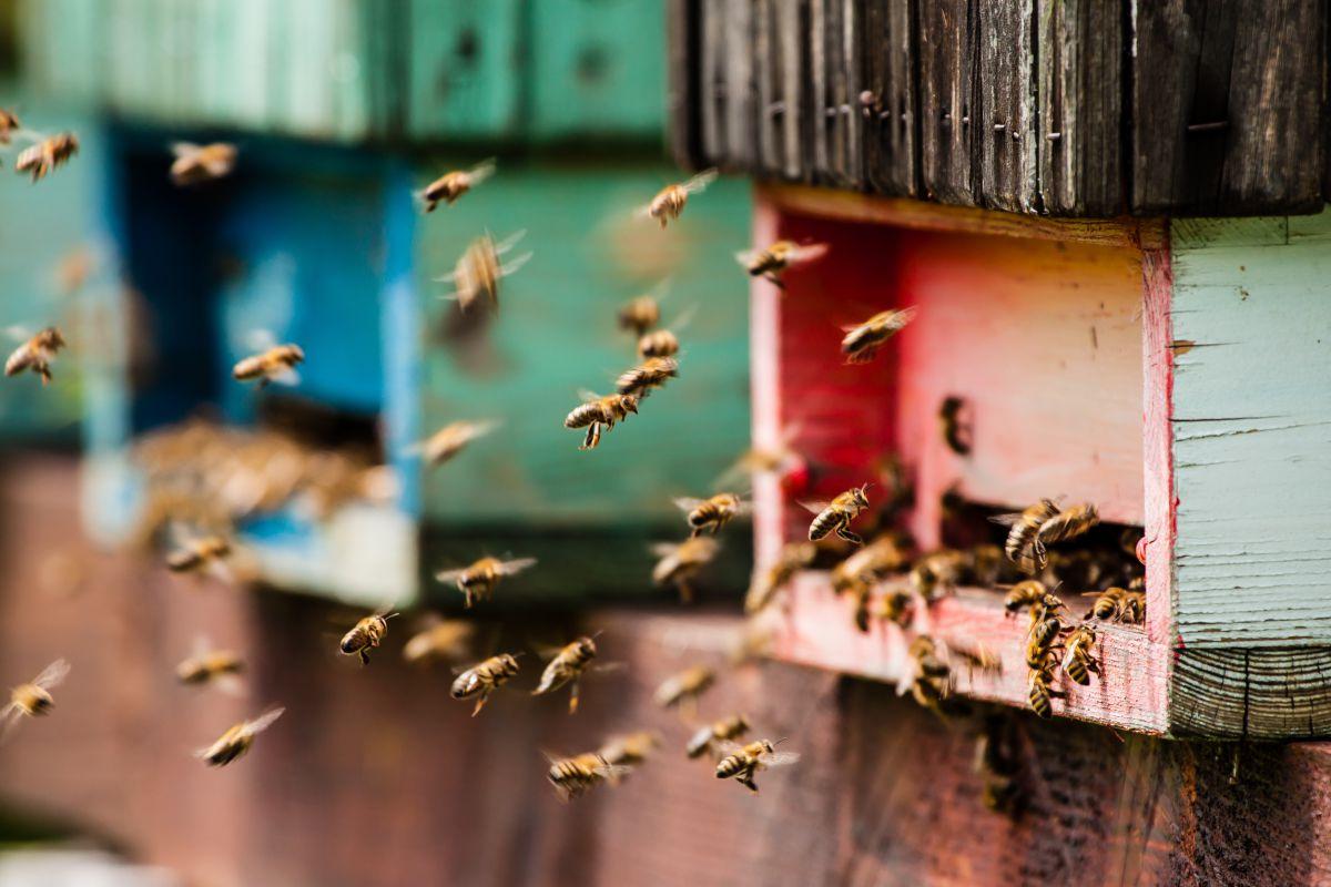 Las abejas vuelven a la colmena después de libar el néctar. Foto: Shutterstock.