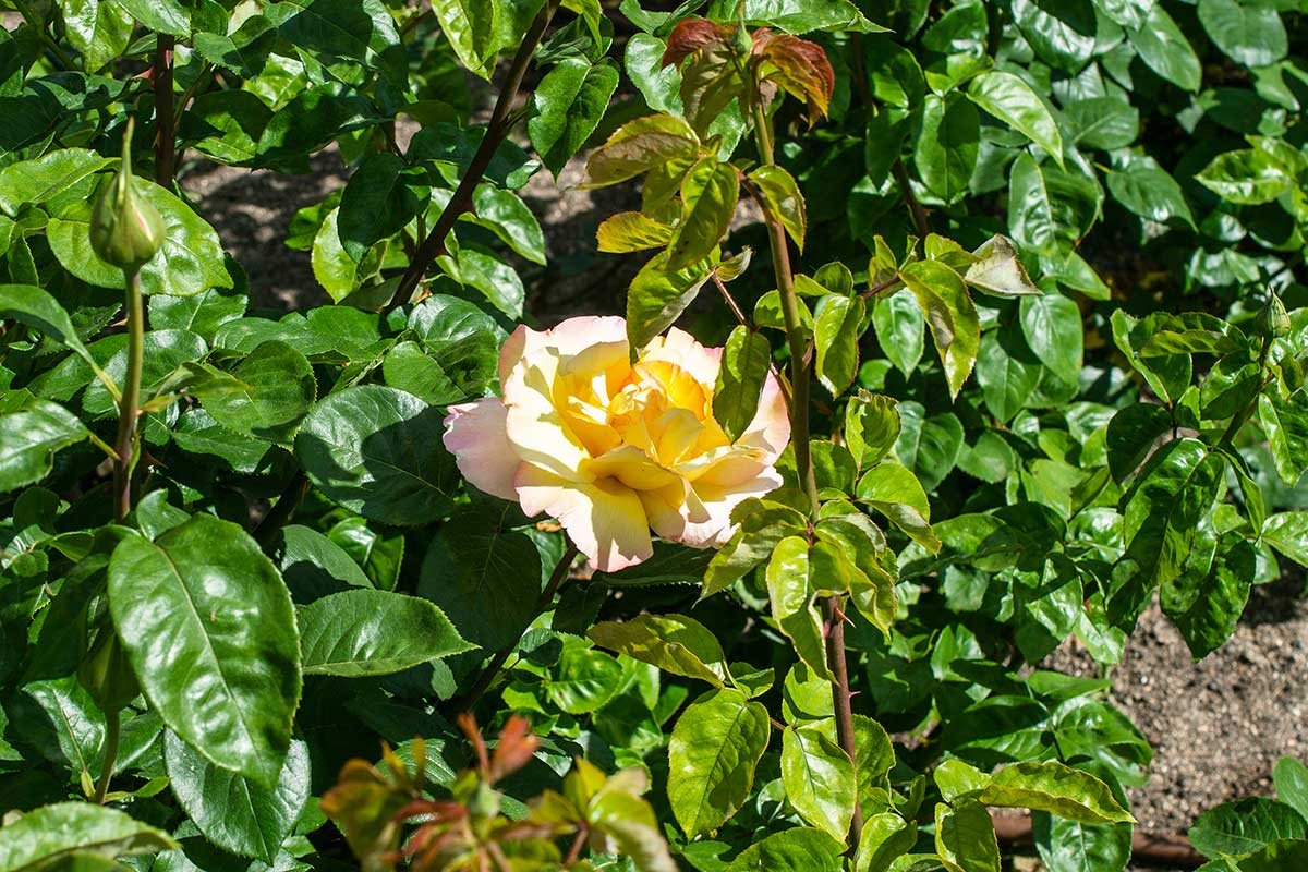 La afamada rosa Peace, del rosalista francés Francis Meilland.