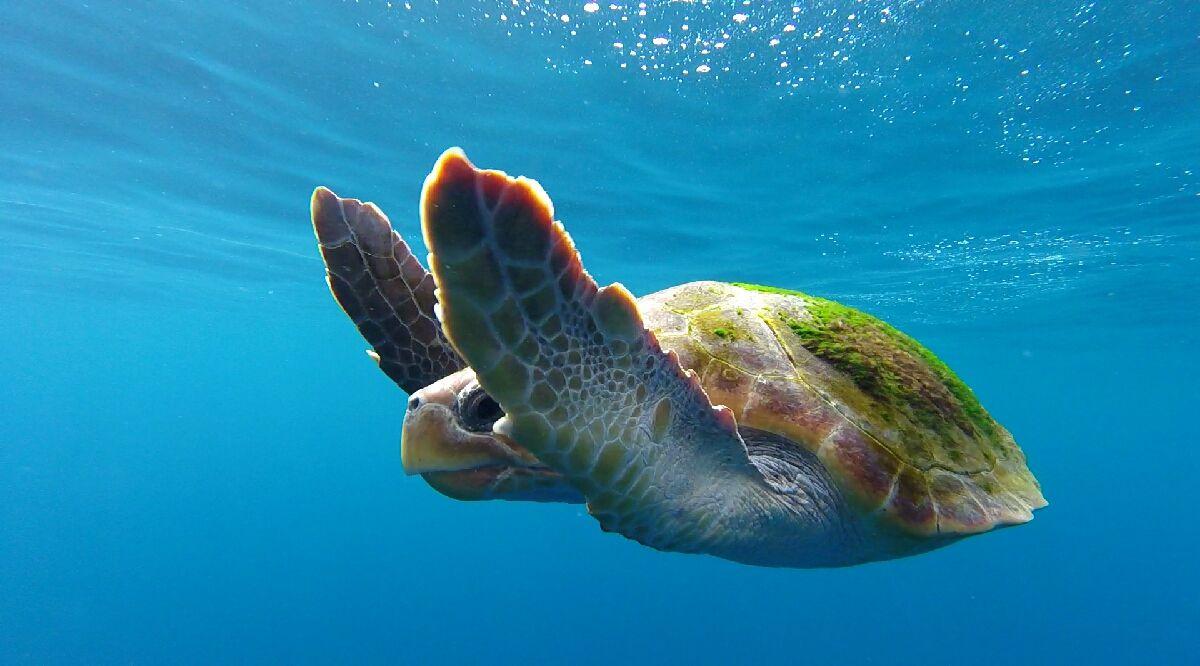 La tortuga boba, en peligro de extinción, visita las Canarias con frecuencia. Foto: Atlantic Eco Experience.