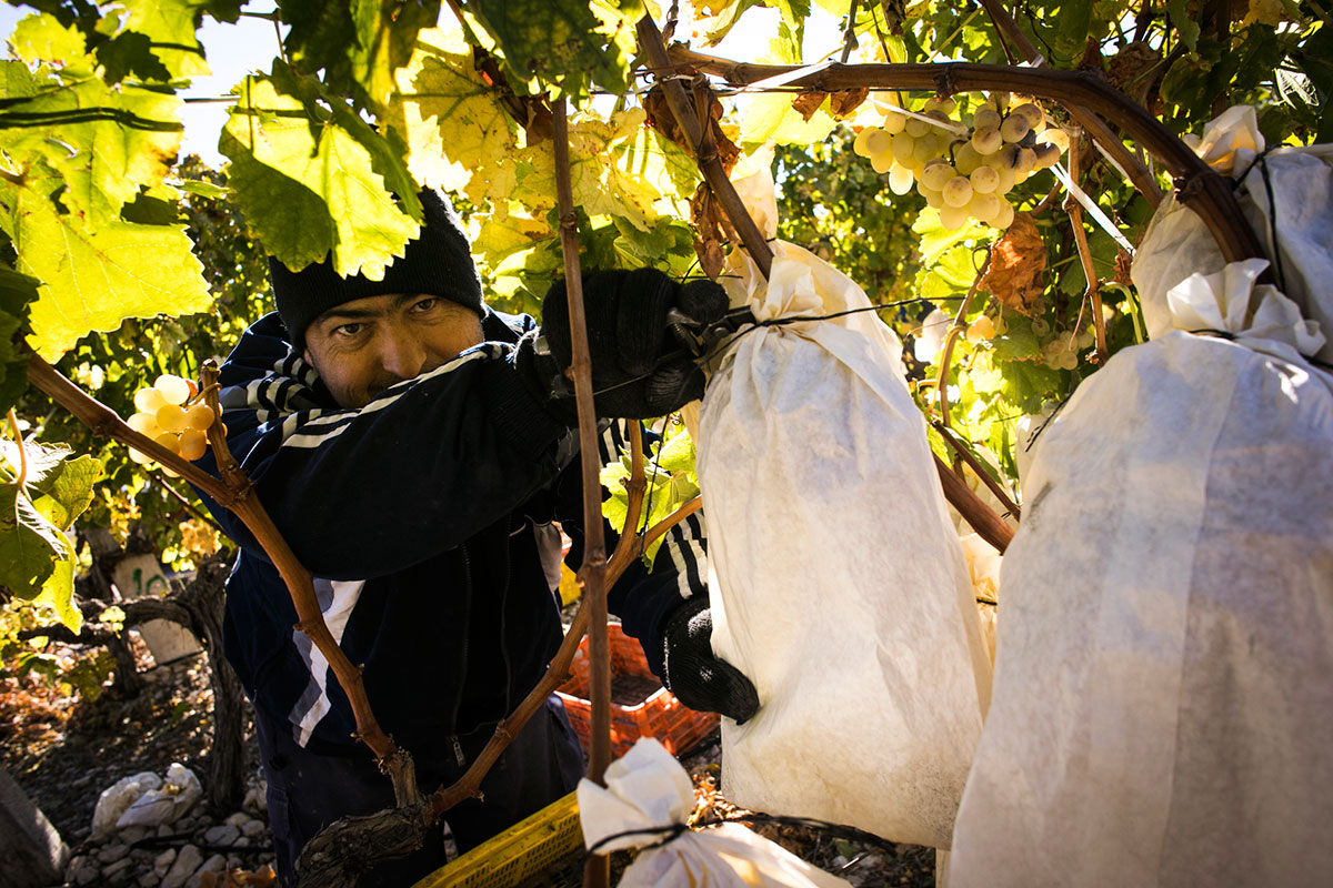 Las únicas uvas de España con Denominación de Origen Protegida.