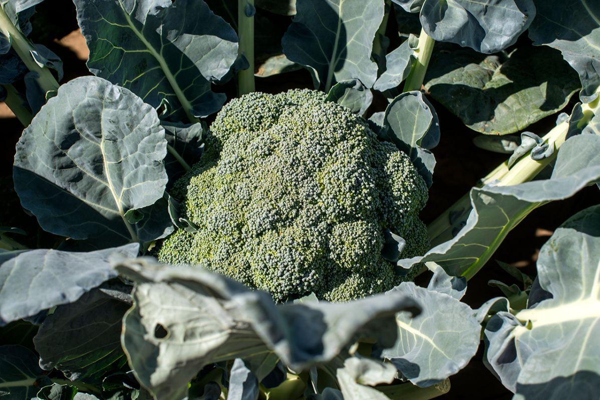 Una brócoli bajo el sol de otoño. Solo necesita agua una vez a la semana.