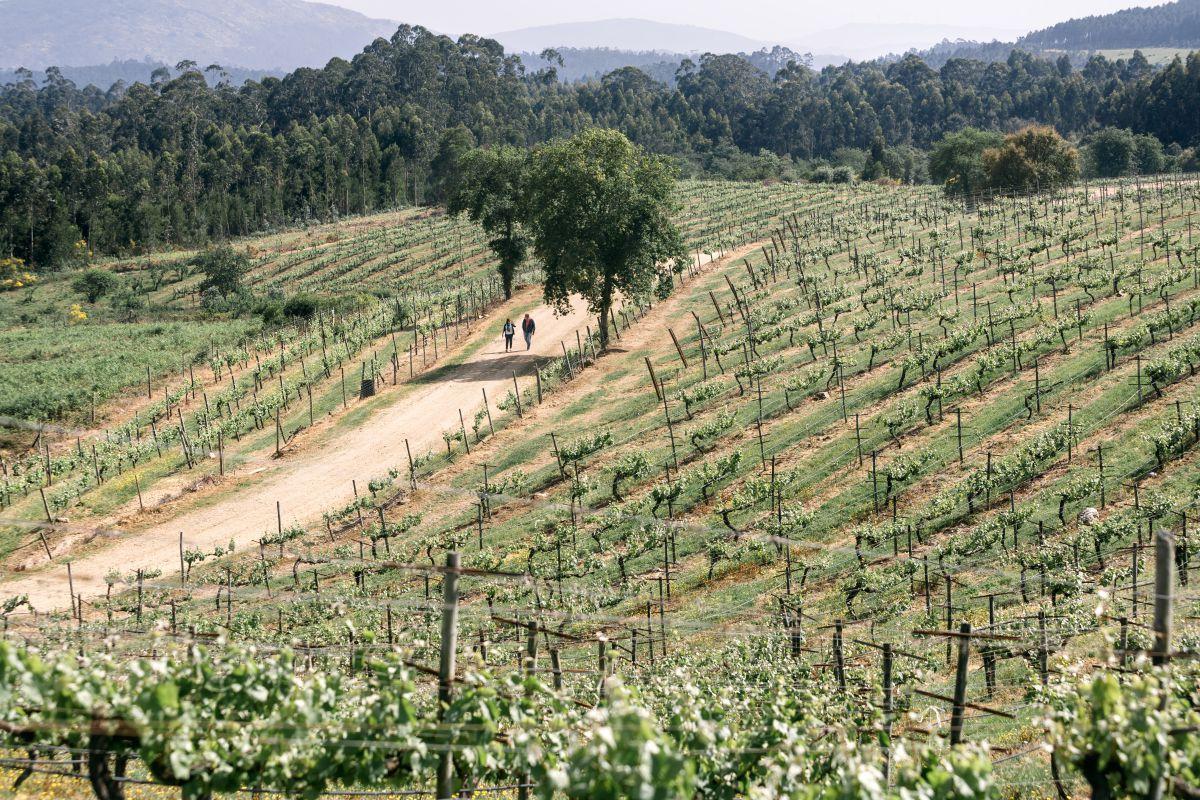 En la comarca de O Rosal las parras se disponen en vertical, con espalderas.