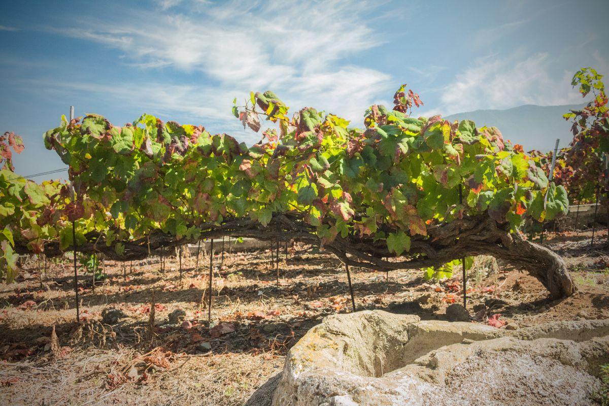El cordón mútiple trenzado en las viñas es un antiguo sistema del Valle de La Orotava.