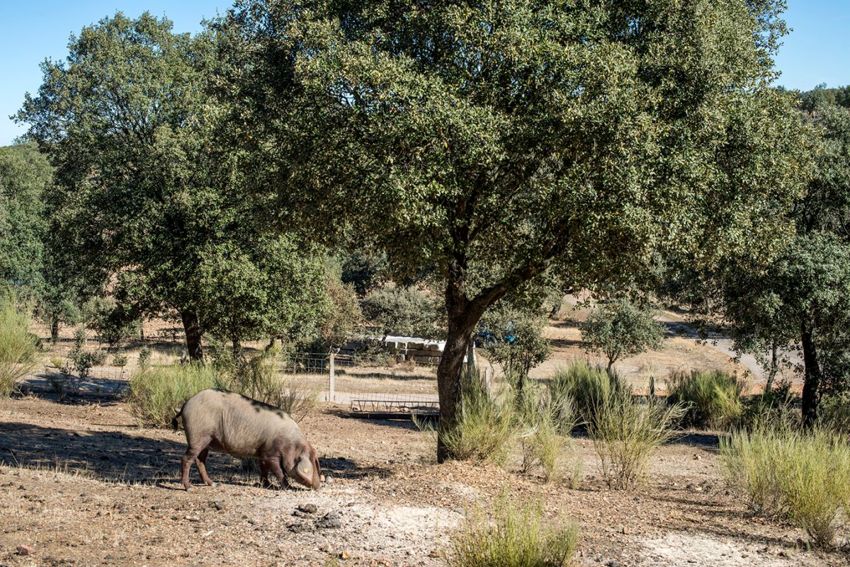 Los cerdos 100 % ibéricos recorren hasta 14 km al día durante la montanera.