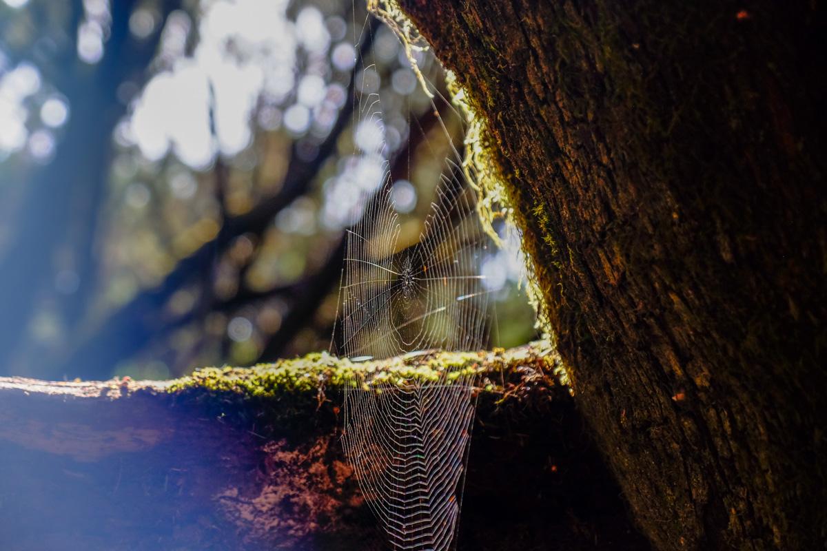 La Gomera: Detalle de telaraña en el Parque Nacional de Garajonay. Foto: Hugo Palotto