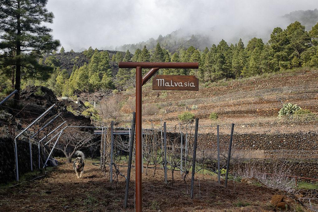 En Las Vigas, a 1.000 metros de altitud, se reparten las tres fincas de uvas.