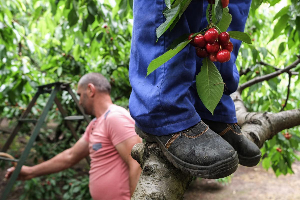 Una escalera o directamente sobre la rama, llegar a las cerezas es lo más importante.