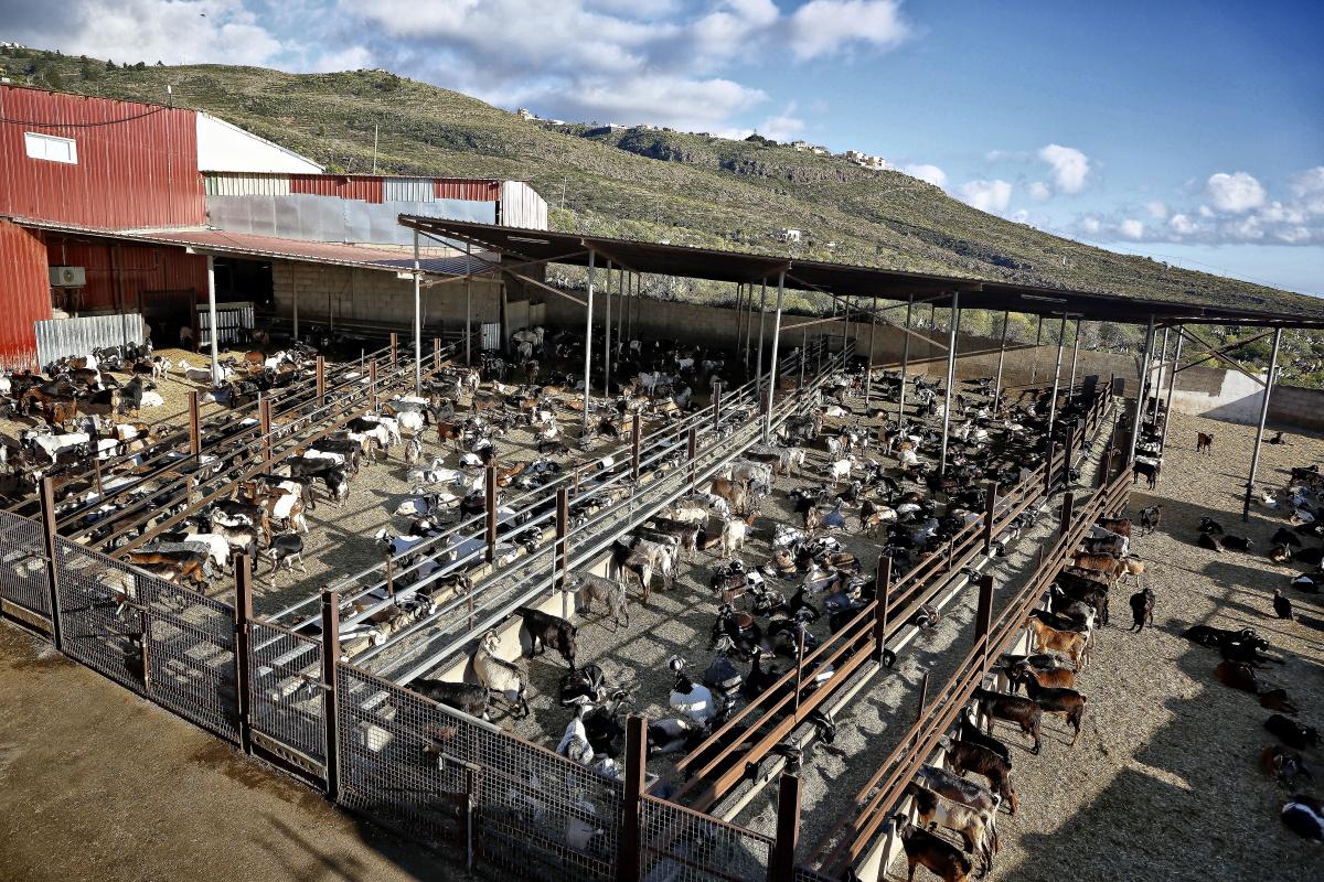 En la biogranja hay unos mil ejemplares de cabra autóctona, repartidos en cuatro lotes separados.