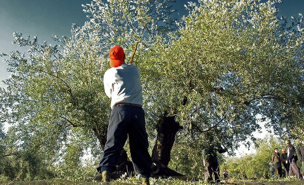 Jornalero vareando el olivo.