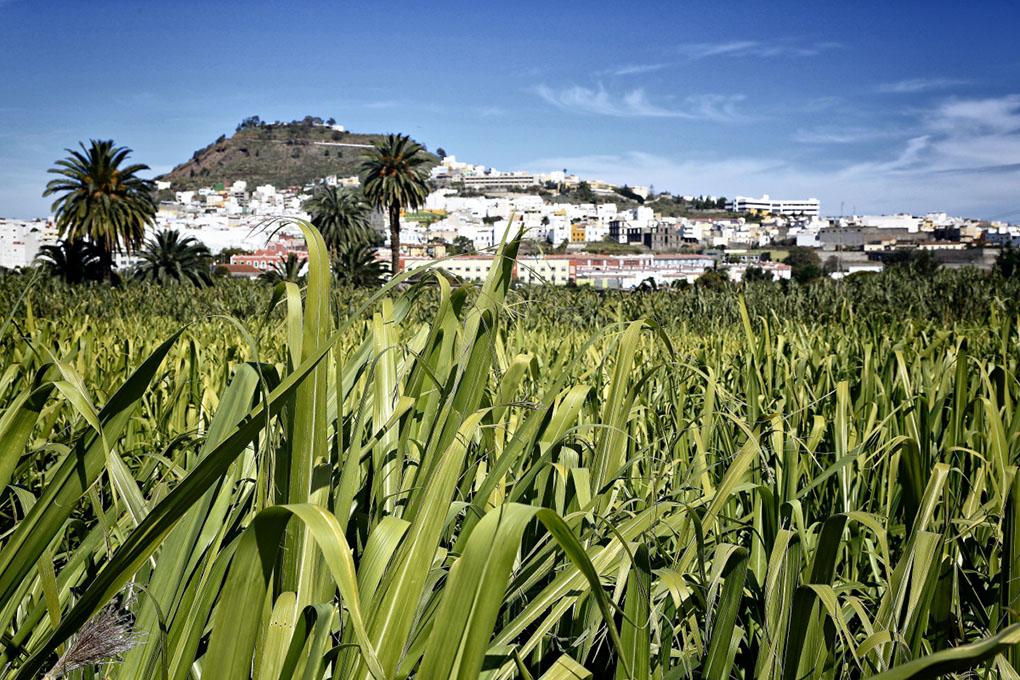 Todos los rones de 'Arehucas' llevan una parte de la caña de azúcar de las plantaciones de Arucas.