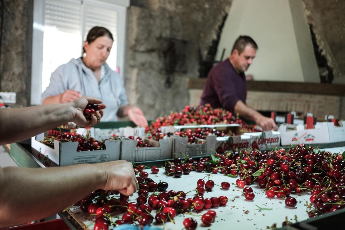 La familia Izquierdo Sánchez selecciona las cerezas en el tendal directamente traídas del árbol.