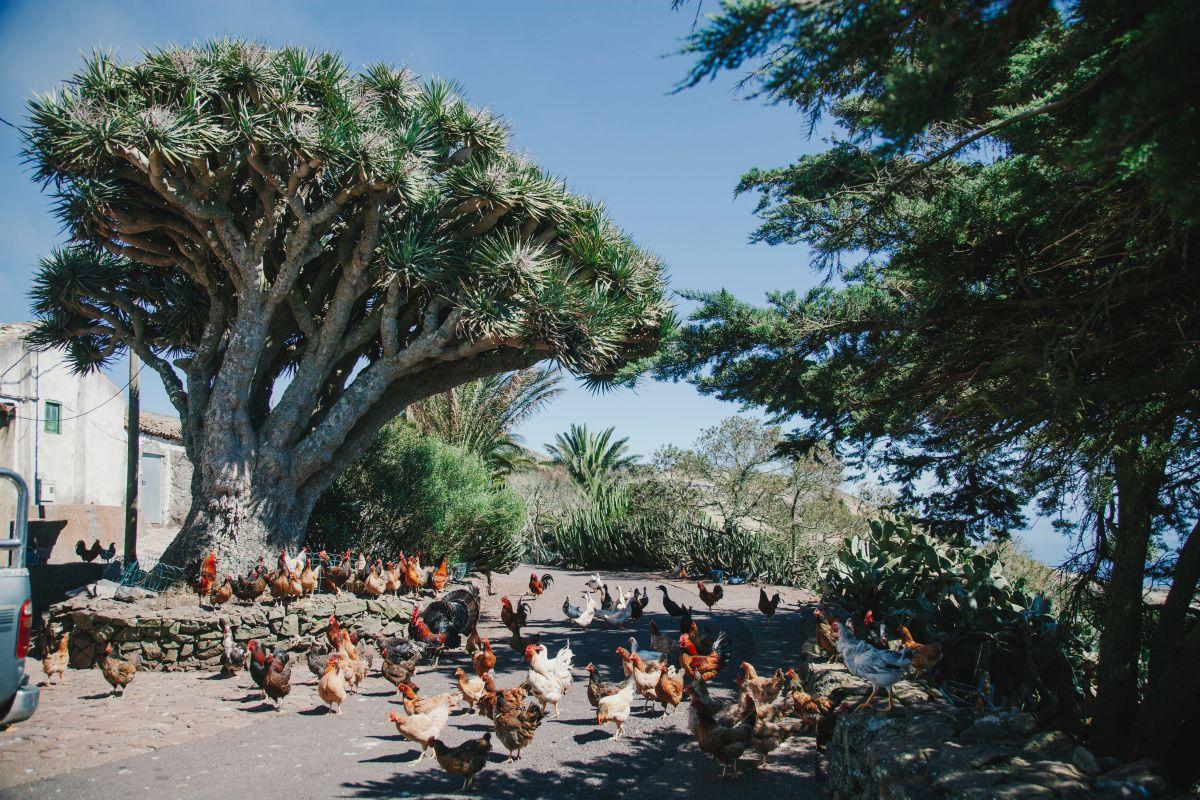 Las gallinas de la quesería Naturteno junto a un drago, en el parque rural Teno de Tenerife.