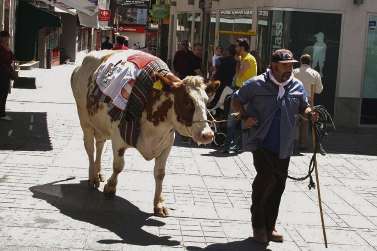 Paseíllo de la vaca por Puertollano durante las vísperas de la festividad del Santo Voto, Ciudad Real.