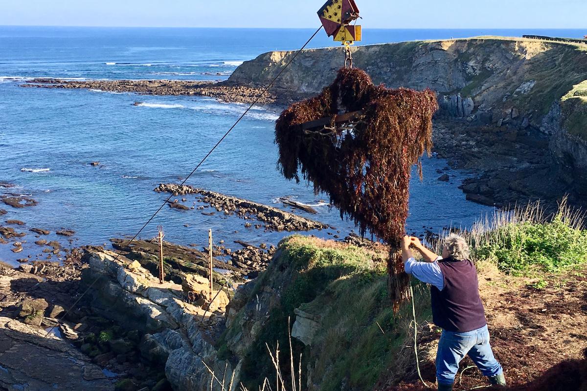 En las labores de recolección del alga roja, en San Vicente de la Barquera. Foto: Guillermo Calvo.