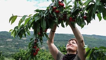 Agroturismo con cerezas en el Valle del Jerte (Cáceres)