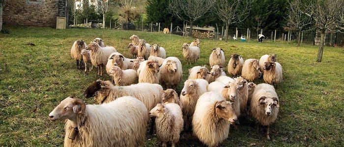 Rebaño de ovejas latxas.