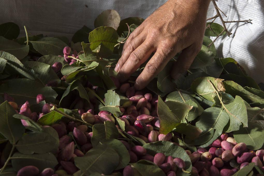 Pistachos recién cosechados, de un rosa intenso y cargados de humedad.
