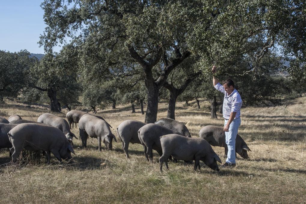 Ildefonso atrae a varios cerdos ibéricos con bellotas recién caídas.
