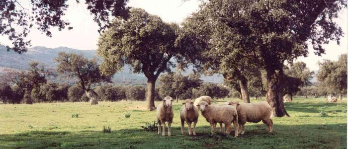 Ovejas en el valle de Alcudia.