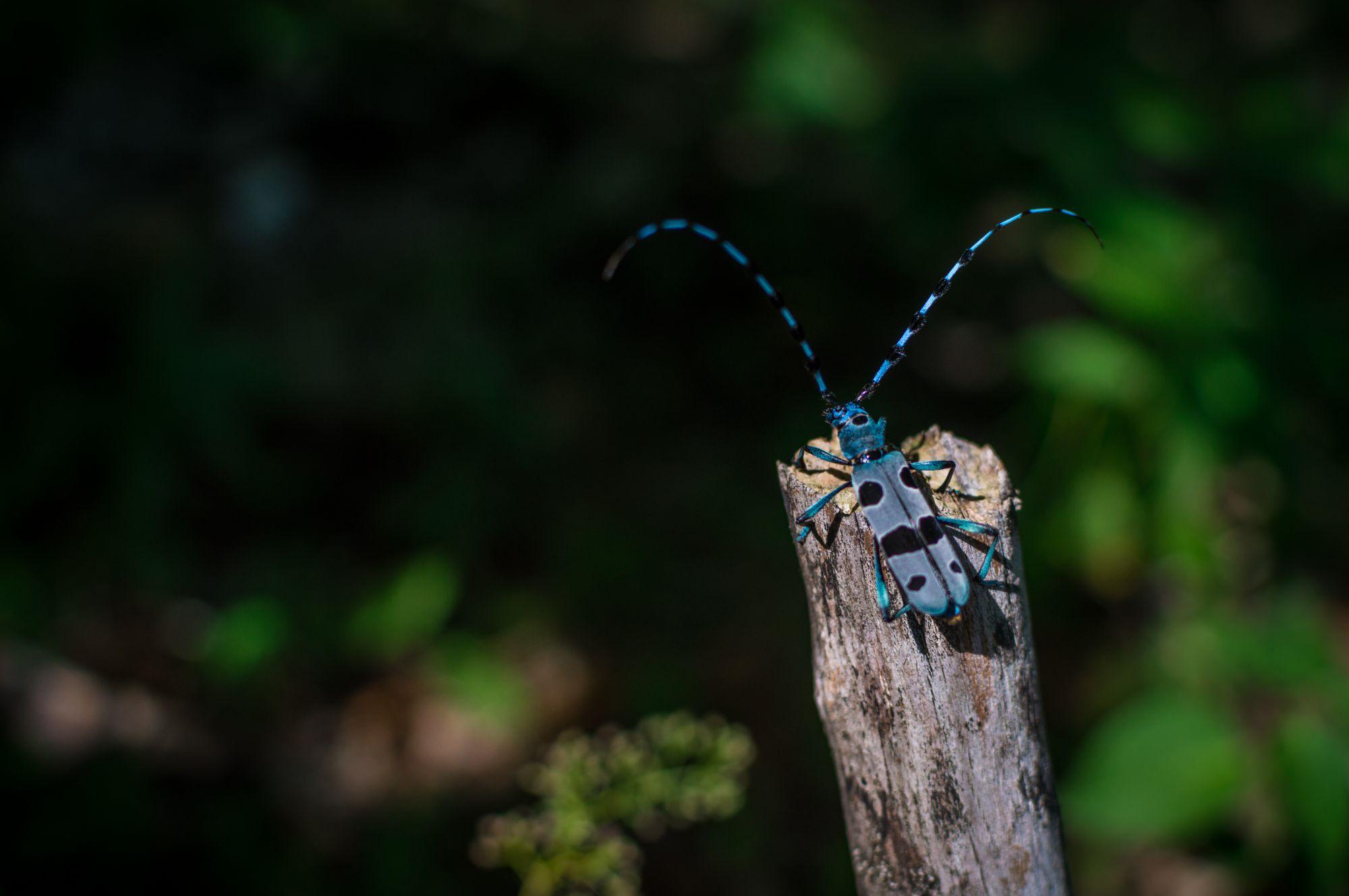 El escarabajo Rosalia alpina selecciona las hayas muertas en claros del bosque y solanas. Foto: Shutterstock.