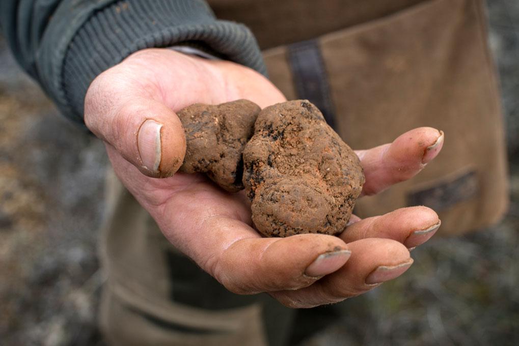 La trufa negra de invierno es la más codiciada en cocina. Y la más cara.