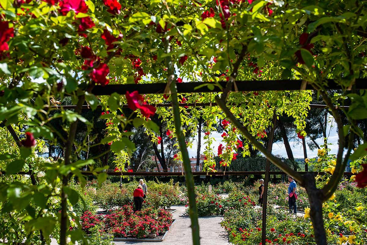 Vista de los jardines desde las pérgolas cubiertas de rosales en La Rosaleda del Parque del Oeste (Madrid).