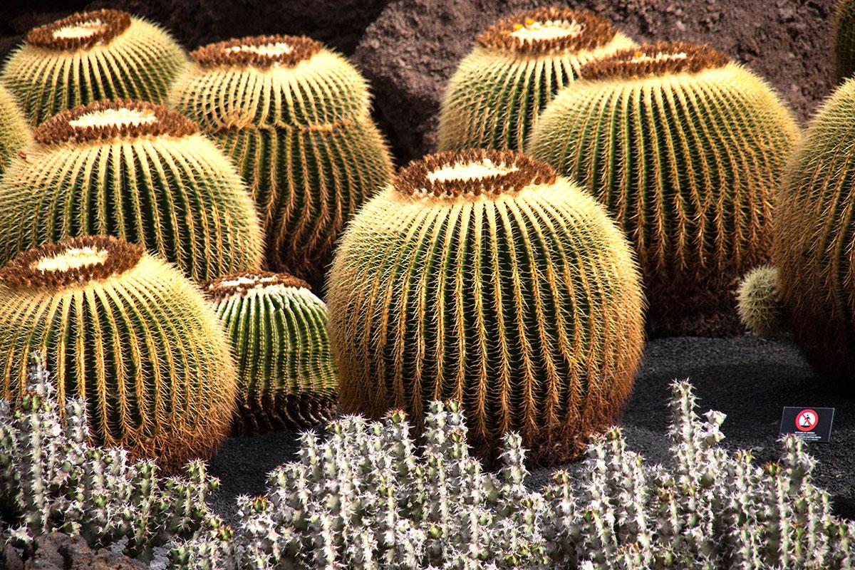 Los cactus esféricos son conocidos como Echinocactus grusonii.