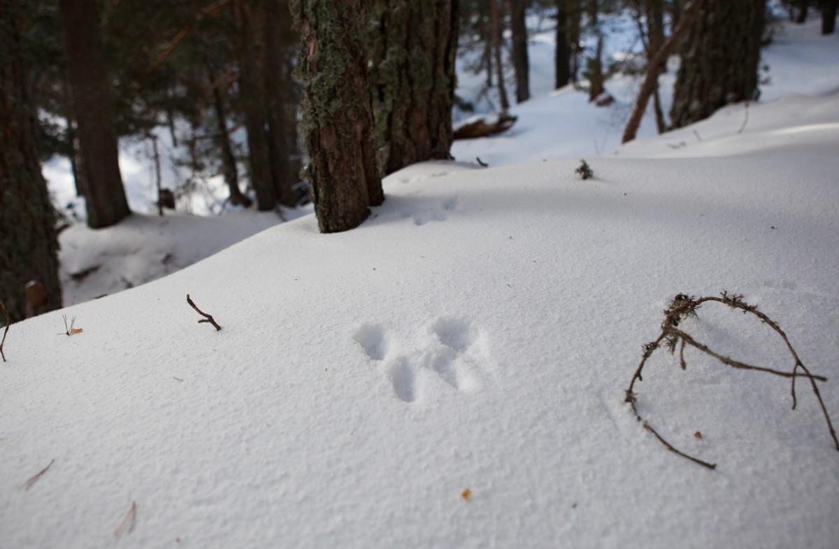 Hubo suerte y se encontró la huella de una liebre alpina, muy escurridiza.
