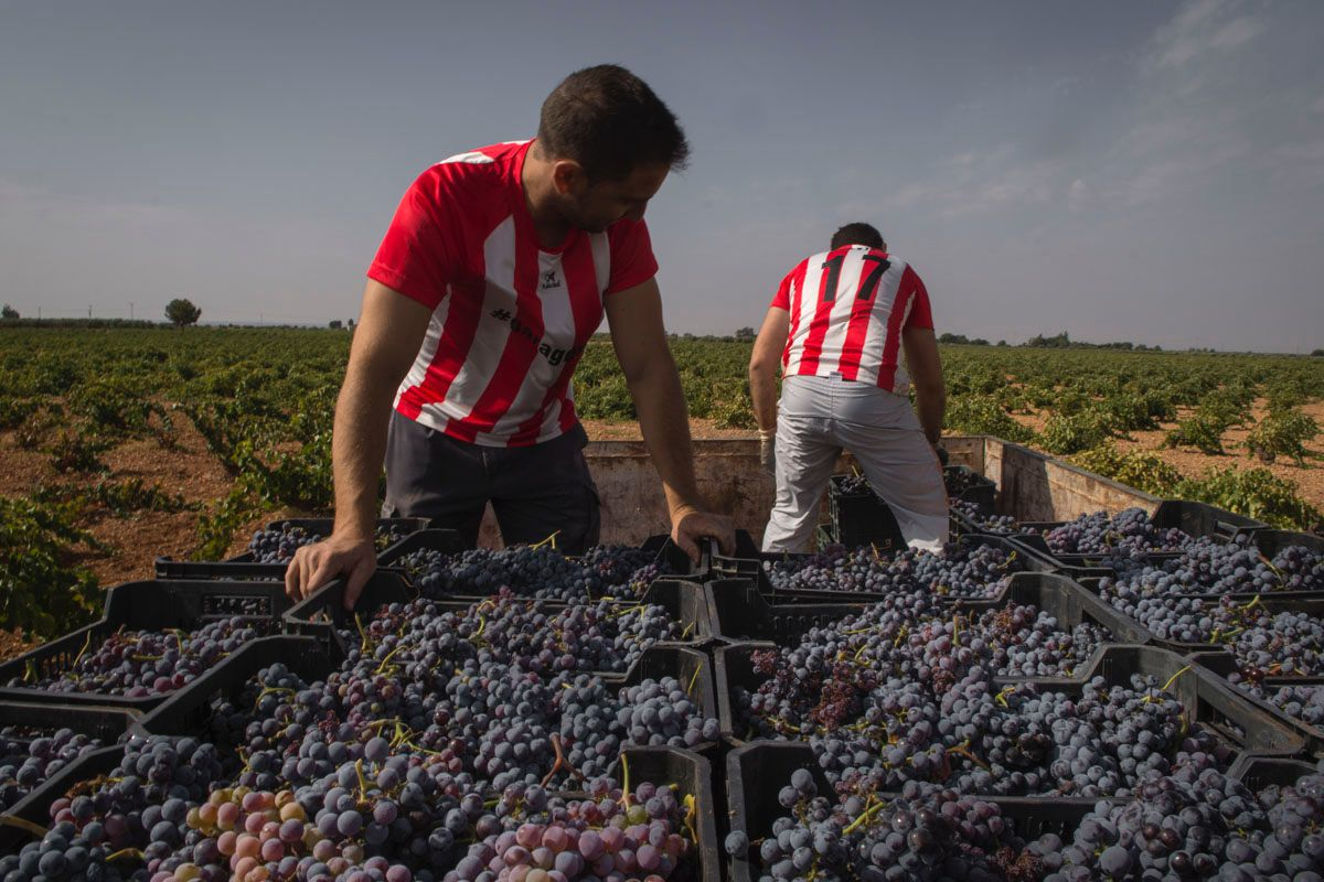 Tres horas después de comenzar con la recolección, las uvas casi a punto de salir para la bodega.