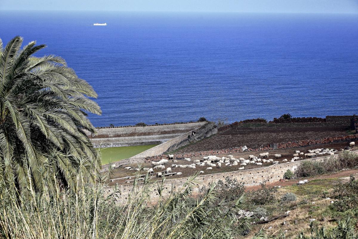 El rebaño pasta, dos veces al día, frente a las costas de Guía durante los meses de enero a marzo.