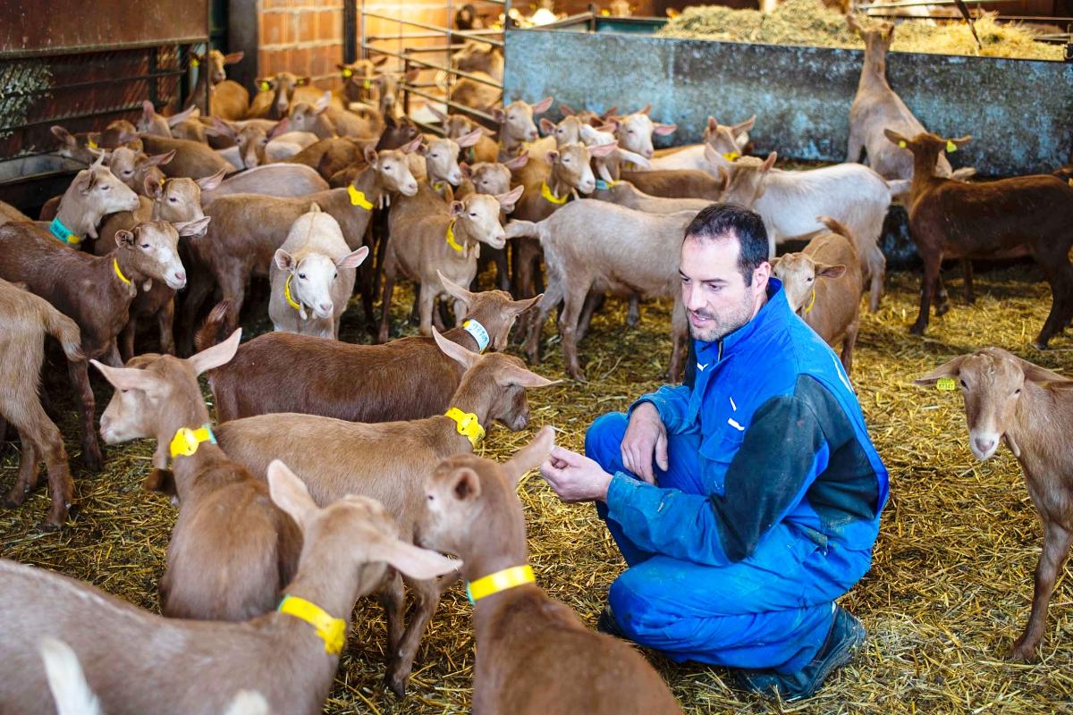 Jesús cuida y mima a sus cabras de raza malagueña.
