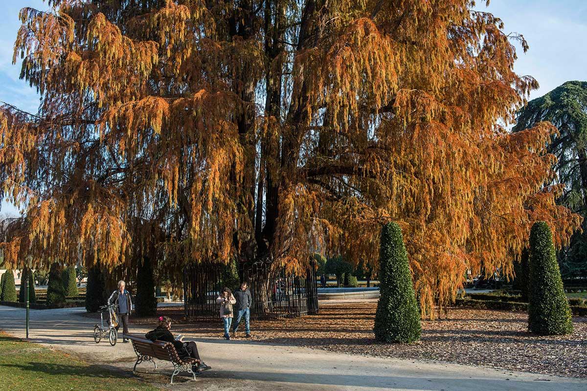 El ahuehuete de Moctezuma y, presuntamente, el árbol más antiguo de Madrid. Belleza del jardín.