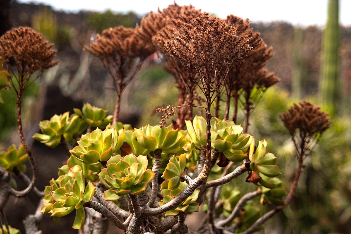 Las rosetas del Aeonium lancerottense solo pueden verse durante el invierno.