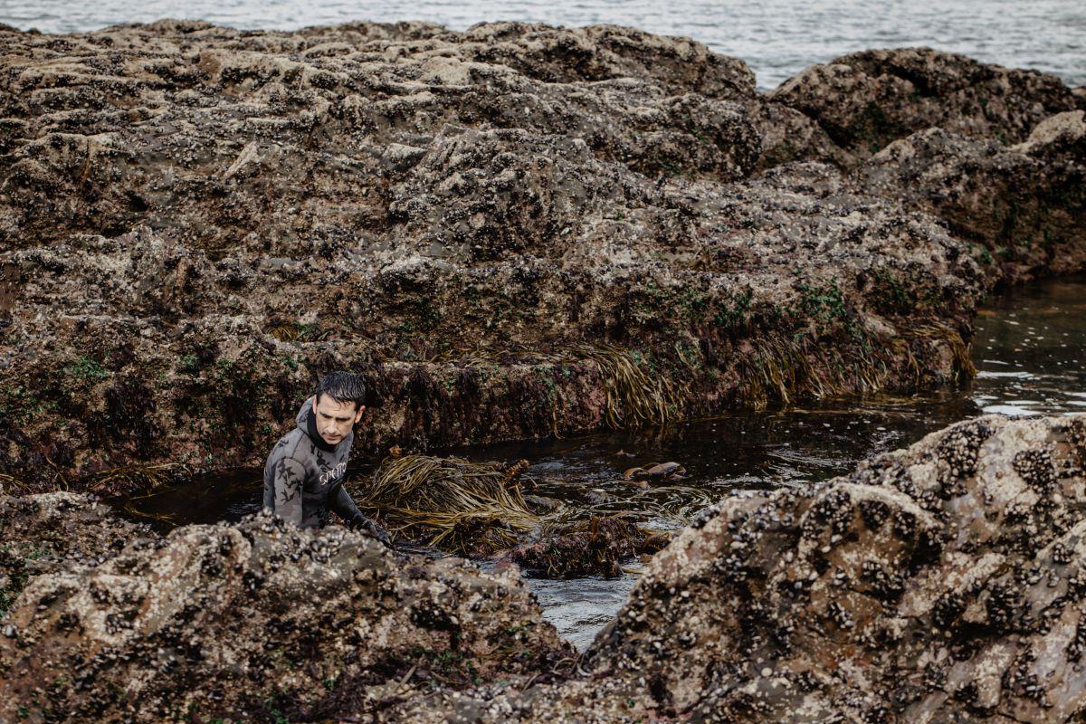 Sergio de Conservas de Mar de Ardona faena durante la marea baja recolectando algas, en Galicia.