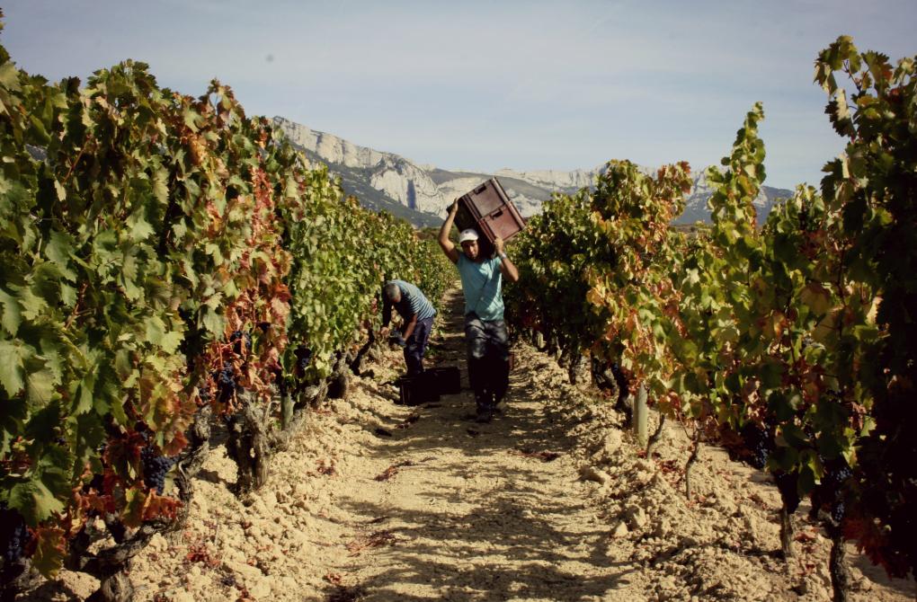 Temporeros recogiendo uva en La Coqueta.