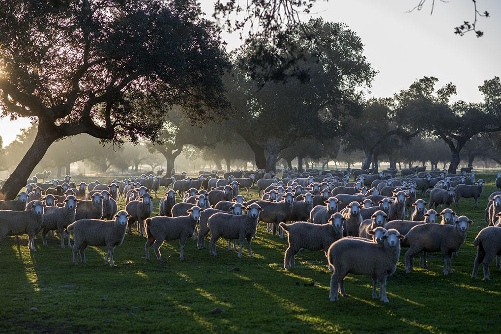 Todas las ovejas, atentas a nuestra cámara.