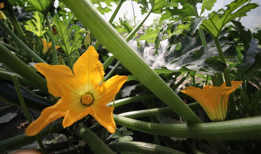 La flor de la calabaza, un estallido de color, que ya anuncia sabores distintos.