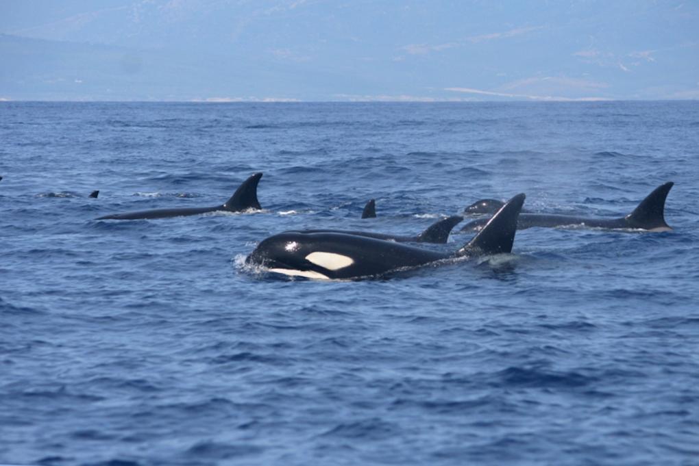27 de las 82 especies de cetáceos habitan en esta zona. Foto: CIRCE.