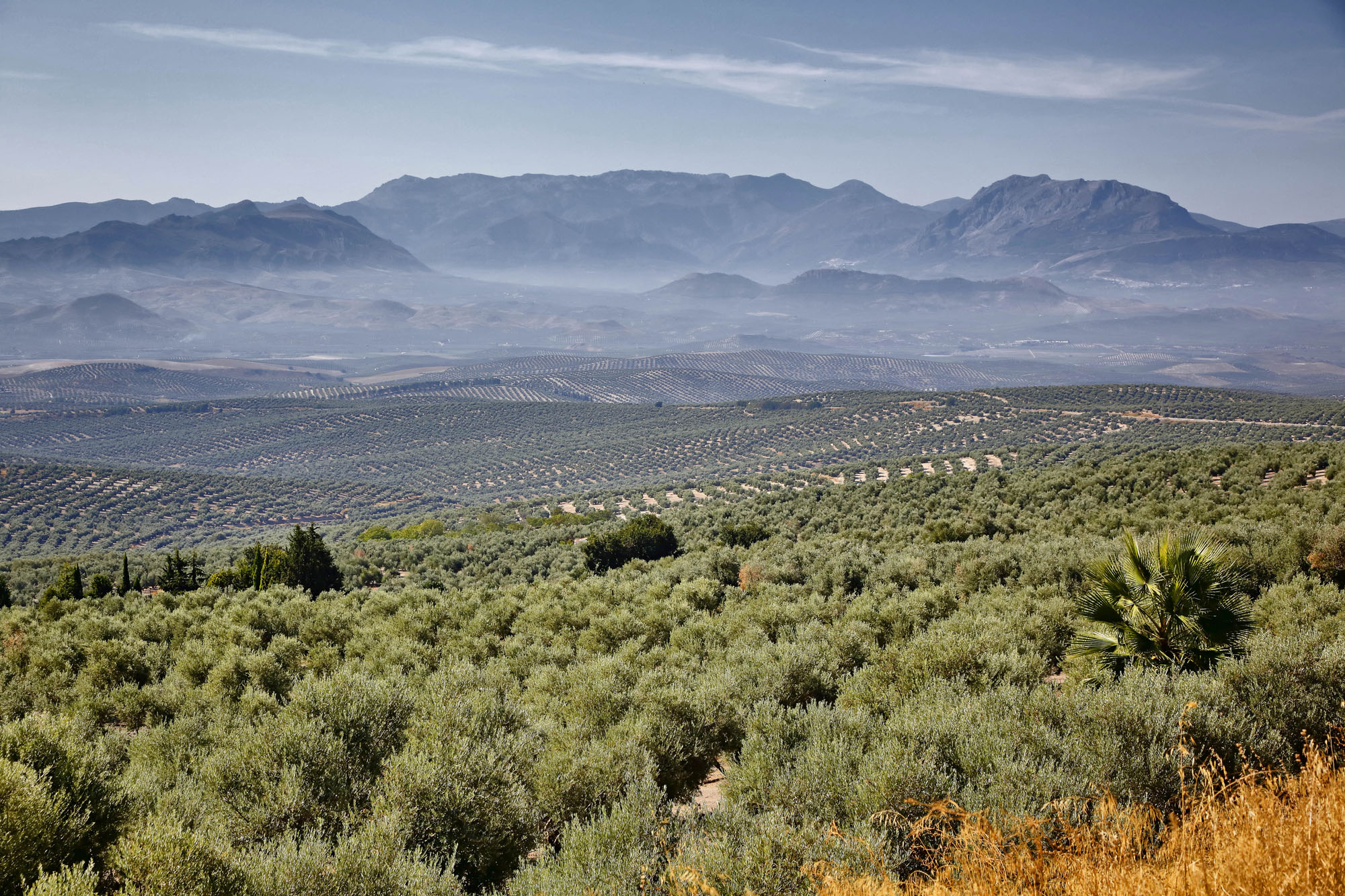 Los campos de olivos rodean Úbeda.