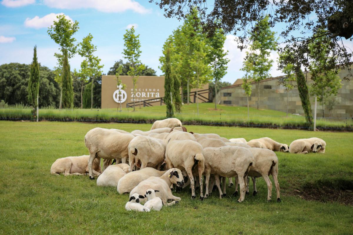 Ovejas pastando en la finca de la Hacienda Zorita (Salamanca).