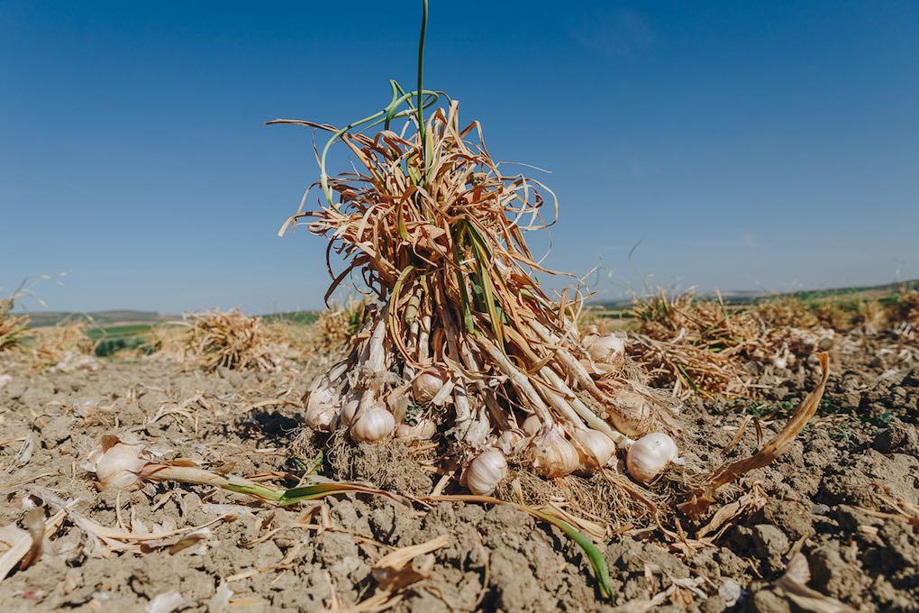Montalbán compite con China, el primer productor de ajos mundial.