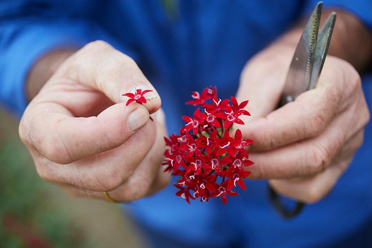 Estas flores rojas se llaman pentas moradas y añaden un sabor suave a ajo a los platos.